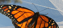 Monarch butterfly on net